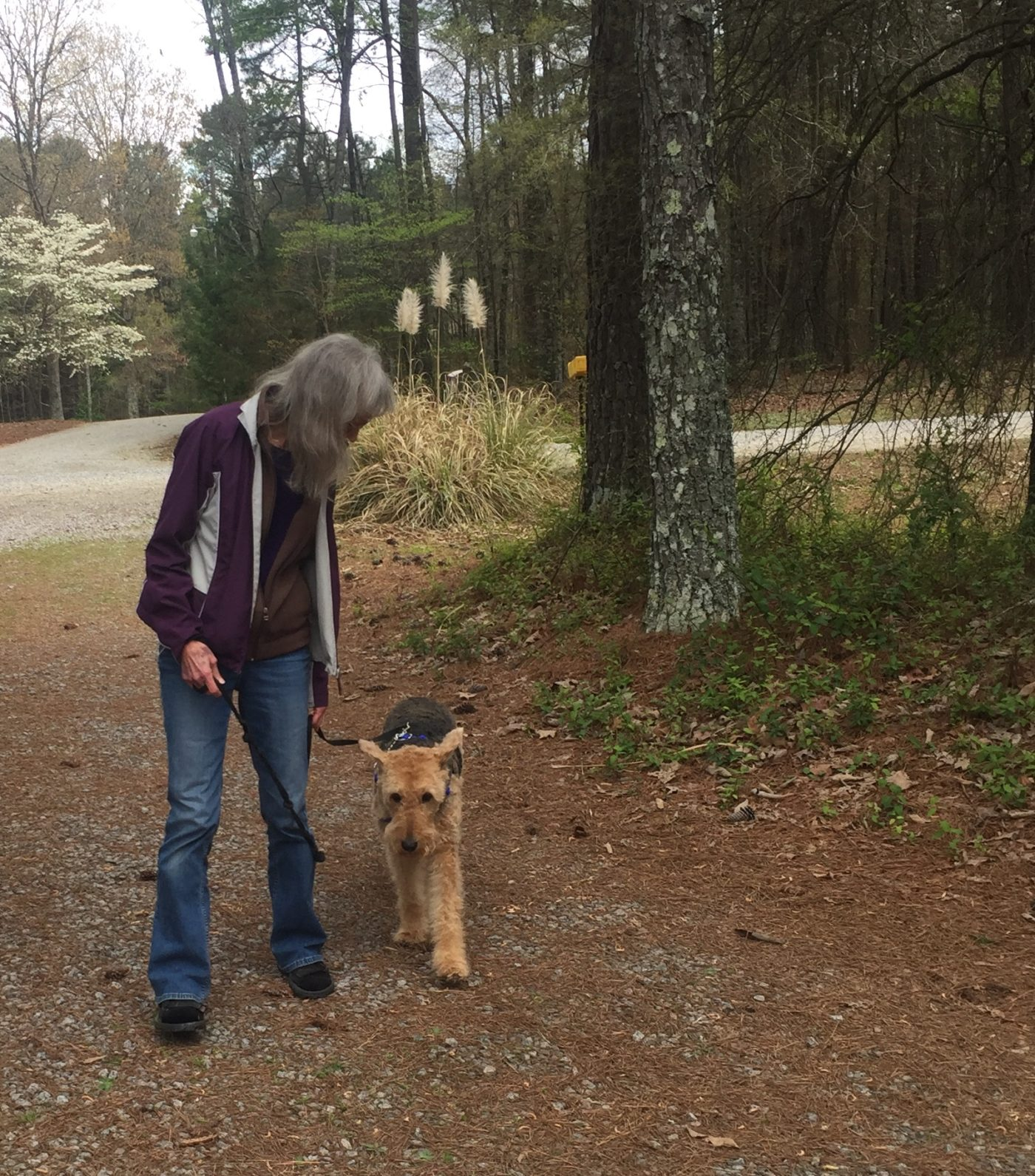 #airedaledogtraining #leash pullung #dogtrainerscharlotte