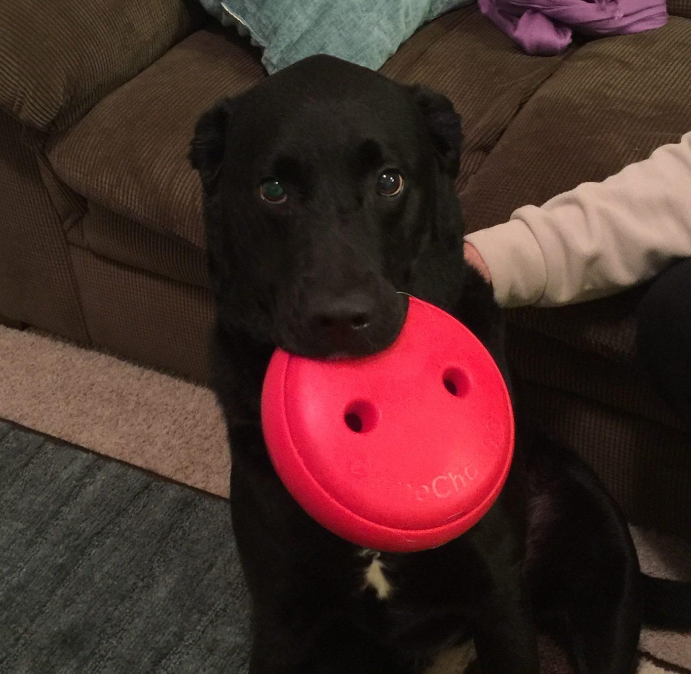 #labradordogtraining #lovelabradors #stopdogaggression #charlottedogtraining